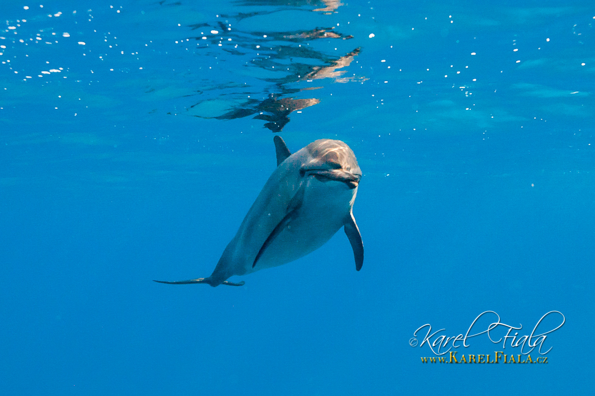 delfin-dlouholeby-egypt-foceni-pod-vodou-karel-fiala-dolphin