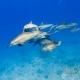 delfin-dlouholeby-egypt-foceni-pod-vodou-karel-fiala-dolphin-100