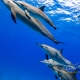 delfin-dlouholeby-egypt-foceni-pod-vodou-karel-fiala-dolphin-11