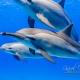 delfin-dlouholeby-egypt-foceni-pod-vodou-karel-fiala-dolphin-12