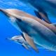 delfin-dlouholeby-egypt-foceni-pod-vodou-karel-fiala-dolphin-13
