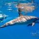 delfin-dlouholeby-egypt-foceni-pod-vodou-karel-fiala-dolphin-16