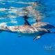 delfin-dlouholeby-egypt-foceni-pod-vodou-karel-fiala-dolphin-17