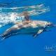 delfin-dlouholeby-egypt-foceni-pod-vodou-karel-fiala-dolphin-19