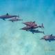 delfin-dlouholeby-egypt-foceni-pod-vodou-karel-fiala-dolphin-29