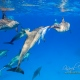 delfin-dlouholeby-egypt-foceni-pod-vodou-karel-fiala-dolphin-3