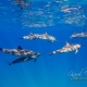 delfin-dlouholeby-egypt-foceni-pod-vodou-karel-fiala-dolphin-33