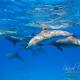delfin-dlouholeby-egypt-foceni-pod-vodou-karel-fiala-dolphin-38