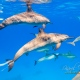 delfin-dlouholeby-egypt-foceni-pod-vodou-karel-fiala-dolphin-4