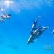 delfin-dlouholeby-egypt-foceni-pod-vodou-karel-fiala-dolphin-46
