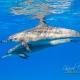 delfin-dlouholeby-egypt-foceni-pod-vodou-karel-fiala-dolphin-48