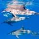 delfin-dlouholeby-egypt-foceni-pod-vodou-karel-fiala-dolphin-50