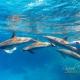 delfin-dlouholeby-egypt-foceni-pod-vodou-karel-fiala-dolphin-51