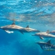 delfin-dlouholeby-egypt-foceni-pod-vodou-karel-fiala-dolphin-53