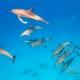 delfin-dlouholeby-egypt-foceni-pod-vodou-karel-fiala-dolphin-54