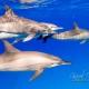 delfin-dlouholeby-egypt-foceni-pod-vodou-karel-fiala-dolphin-57