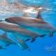 delfin-dlouholeby-egypt-foceni-pod-vodou-karel-fiala-dolphin-60