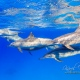 delfin-dlouholeby-egypt-foceni-pod-vodou-karel-fiala-dolphin-61