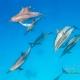 delfin-dlouholeby-egypt-foceni-pod-vodou-karel-fiala-dolphin-65