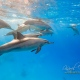 delfin-dlouholeby-egypt-foceni-pod-vodou-karel-fiala-dolphin-66