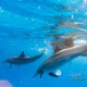 delfin-dlouholeby-egypt-foceni-pod-vodou-karel-fiala-dolphin-67