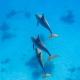 delfin-dlouholeby-egypt-foceni-pod-vodou-karel-fiala-dolphin-70