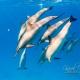 delfin-dlouholeby-egypt-foceni-pod-vodou-karel-fiala-dolphin-73
