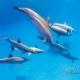 delfin-dlouholeby-egypt-foceni-pod-vodou-karel-fiala-dolphin-74