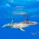 delfin-dlouholeby-egypt-foceni-pod-vodou-karel-fiala-dolphin-78