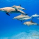 delfin-dlouholeby-egypt-foceni-pod-vodou-karel-fiala-dolphin-8