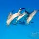 delfin-dlouholeby-egypt-foceni-pod-vodou-karel-fiala-dolphin-80