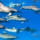 delfin-dlouholeby-egypt-foceni-pod-vodou-karel-fiala-dolphin-82