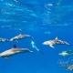 delfin-dlouholeby-egypt-foceni-pod-vodou-karel-fiala-dolphin-83