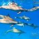 delfin-dlouholeby-egypt-foceni-pod-vodou-karel-fiala-dolphin-85