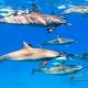 delfin-dlouholeby-egypt-foceni-pod-vodou-karel-fiala-dolphin-88