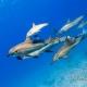 delfin-dlouholeby-egypt-foceni-pod-vodou-karel-fiala-dolphin-9