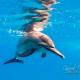 delfin-dlouholeby-egypt-foceni-pod-vodou-karel-fiala-dolphin-94