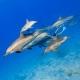 delfin-dlouholeby-egypt-foceni-pod-vodou-karel-fiala-dolphin-99
