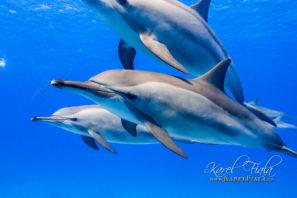 Plavání a potápění s delfíny. Egypt. Rudé moře.
